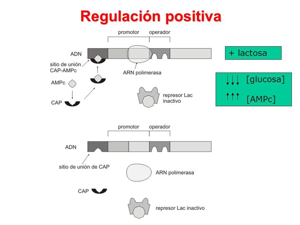 Regulación positiva + lactosa [glucosa] [AMPc]
